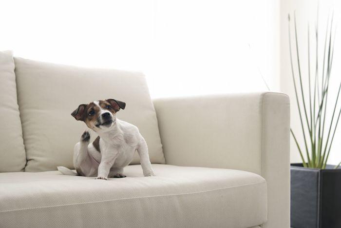 Perro con pulgas rascándose