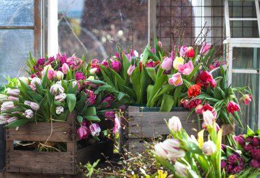 5 maneras de evitar que los tulipanes se caigan