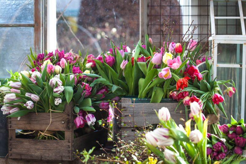 Cómo evitar que los tulipanes se vean caídos