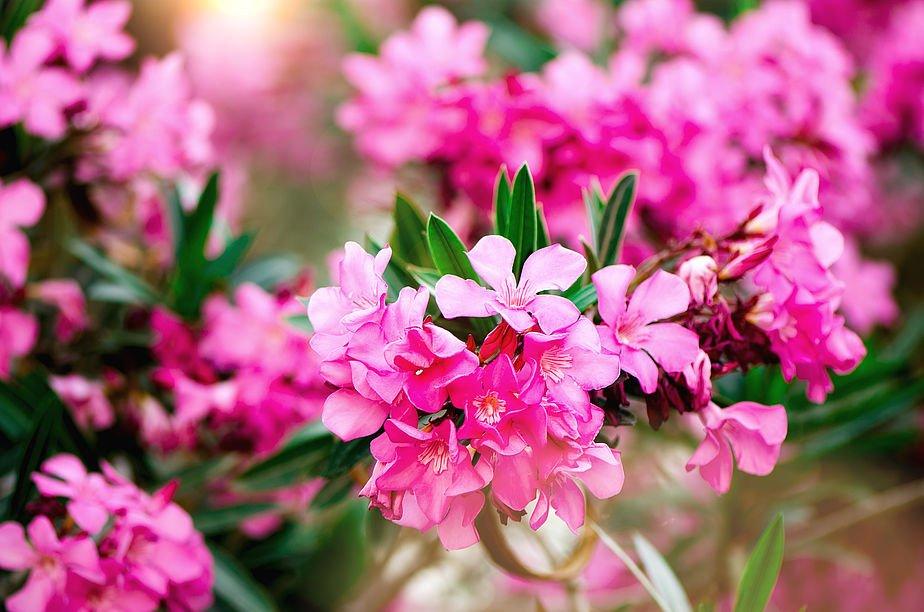 Flores de la planta Adelfa