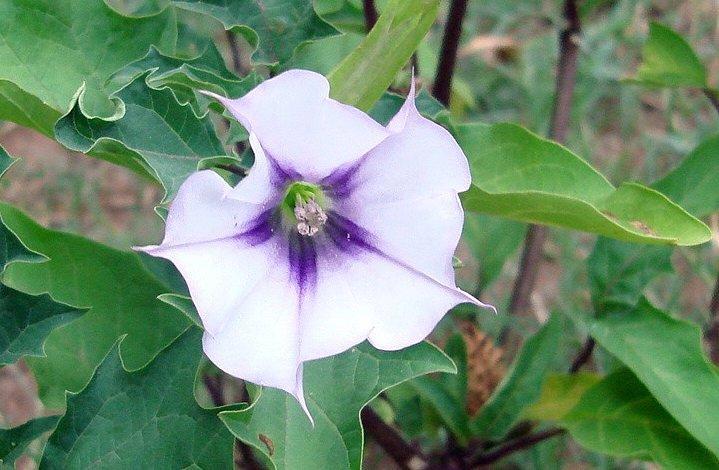 Datura Stramonium una planta que puede resultar muy tóxica