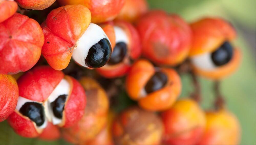 Conoce los beneficios del guaraná como antioxidante