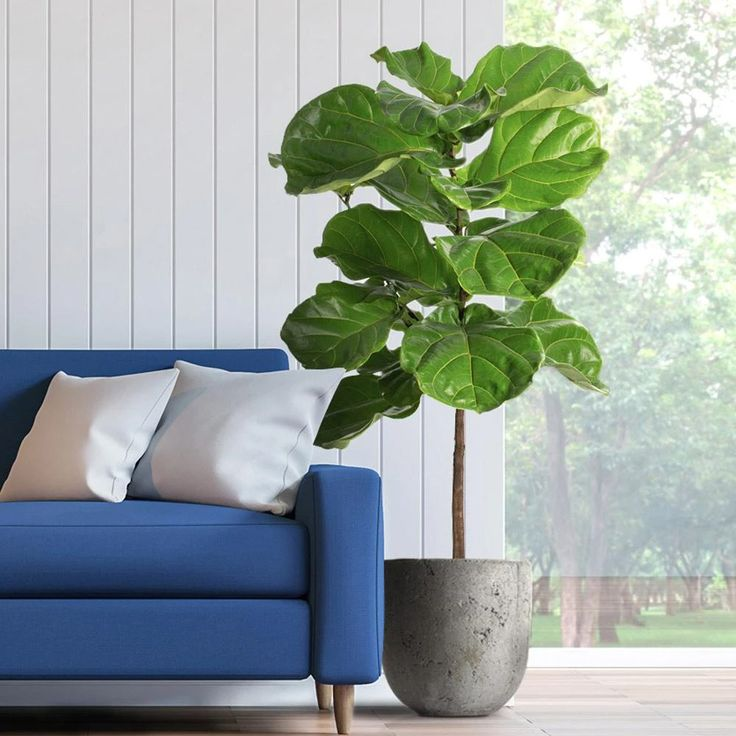 mejores plantas higo de hoja de violín