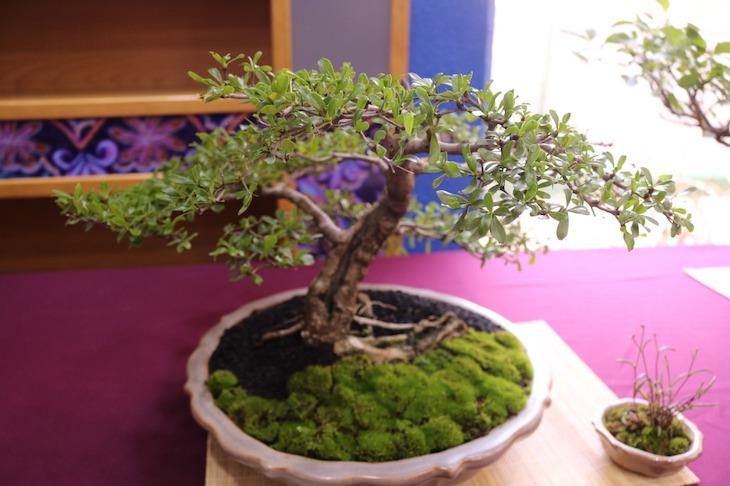 plantas para oficina bonsai