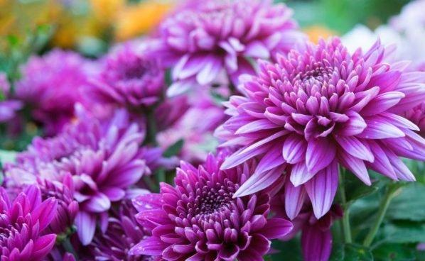 mejorar la salud mental con crisantemos