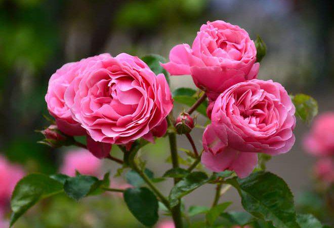 mejorar la salud mental con rosas