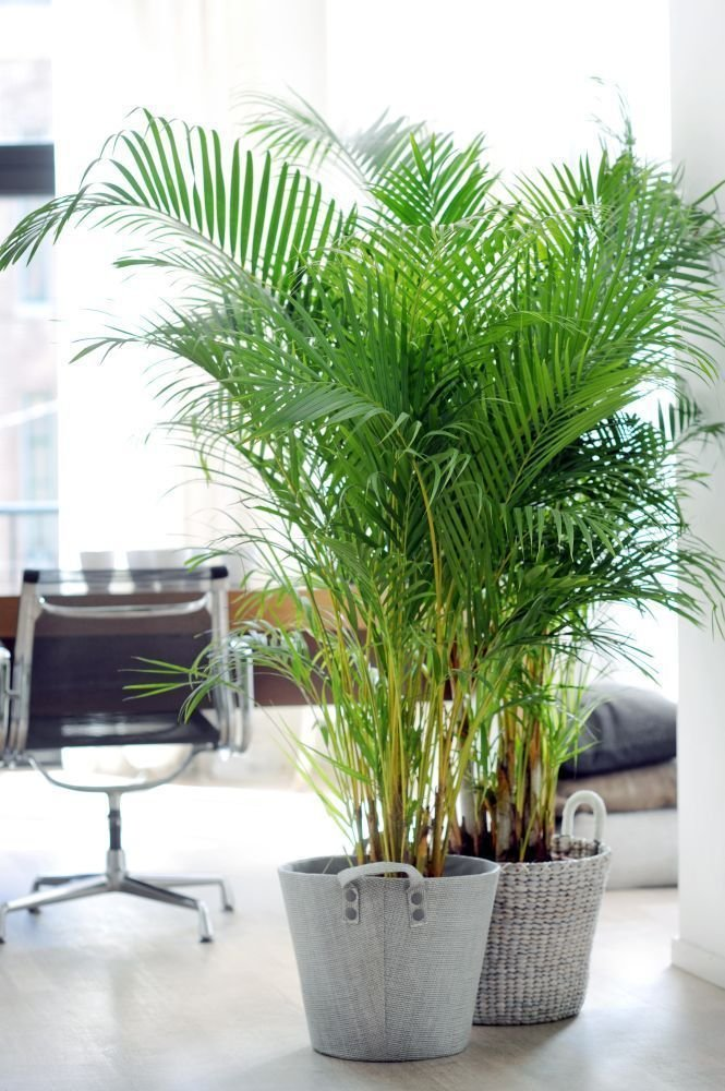 Chrysalidocarpus para el interior del hogar
