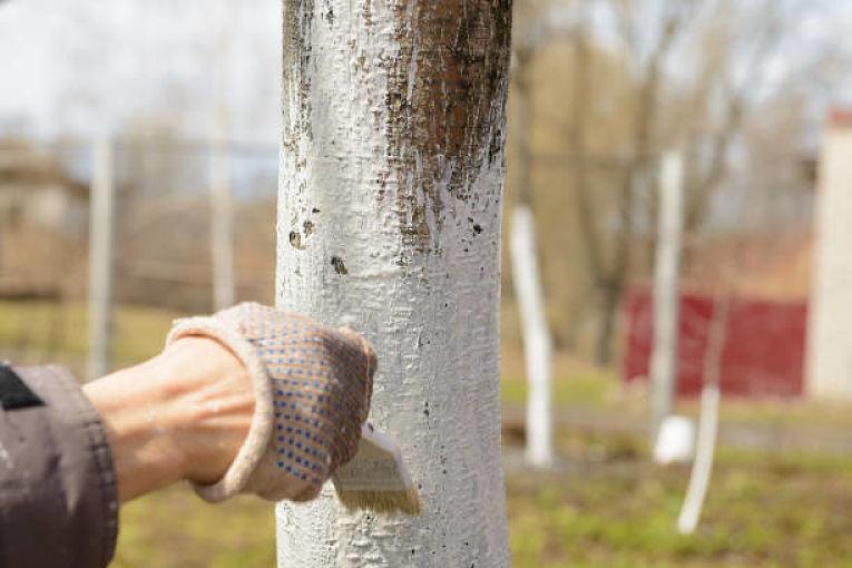 Pintando un árbol con cal para protegerlo contra las quemaduras solares